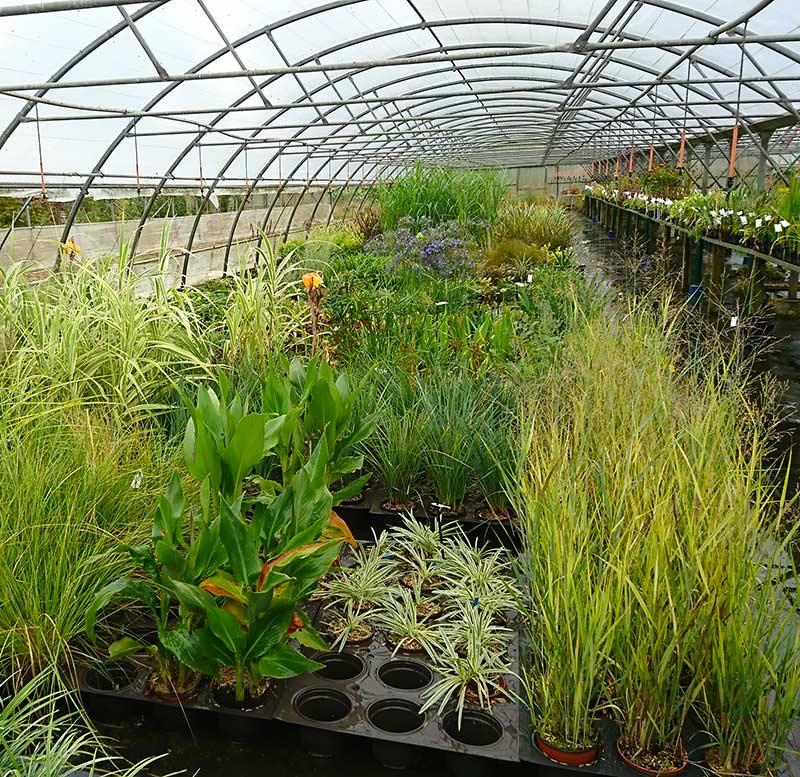 vente de plantes espèces mollis, cammarum, millefolium, clypeolata à Plélo| Pépinières Corbel et Paysages